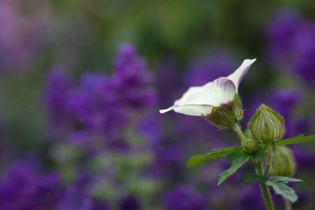 White flower tinged in purple on blurred purple and green background.