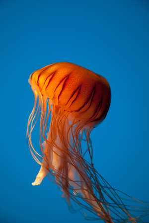 Beautiful jellyfish captured in the Baltimore Aquarium photo