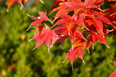 Maple tree branch in Autumn colors on green blurred background Stock Photo