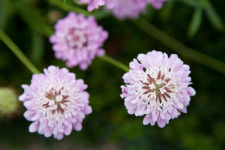 Three pink purple blossoms on blurred green background. Scabiosa