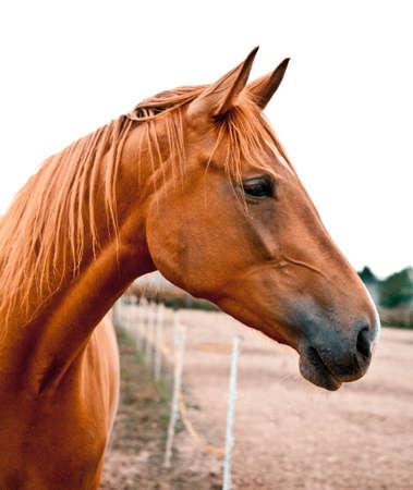 cabeza de caballo: Side foto de un caballo de sangre caliente joven y bella. �l est� a la escucha con sus o�dos se aguzaron. Hermoso color casta�o.