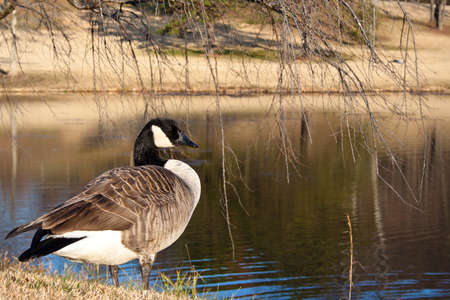 Pensive goose standing by a pond