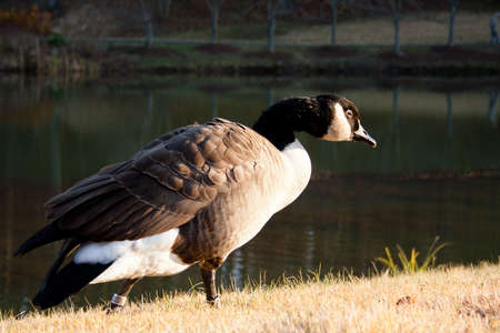 Pensive goose walking by a pond