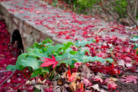 Fall scene with a bright red maple leaf resting on  a green plant with a stone foot bridge in the background.