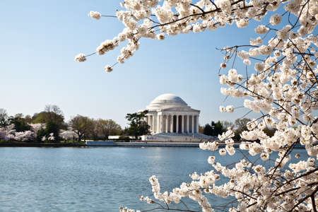Cherry blossoms around the Tidal Basin in Washington DC with Jefferson Memorial