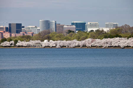 Cherry blossoms around the Tidal Basin in Washington DC near Jefferson Memorial with Rosslyn city skyline Stock Photo