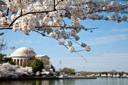 Cherry blossoms around the Tidal Basin in Washington DC with Jefferson Memorial Stock Photo - 12959543