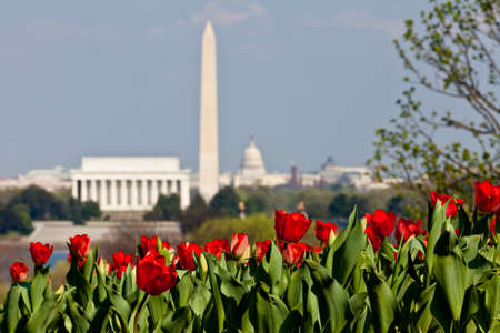 Close up of blooming red tulips in the foreground with an out of focus view of Washington DC skyline in late afternoon on a sunny day with Lincoln Memorial, Washington Monument and the Capitol Stock Photo - 12981716