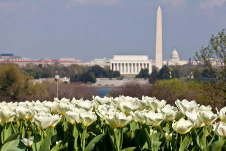 Close up of blooming white tulips in the foreground with an out of focus view of Washington DC skyline in late afternoon on a sunny day with Lincoln Memorial, Washington Monument and the Capitol