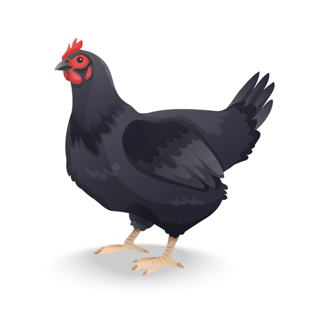 hen isolated on white background. Vector illustration