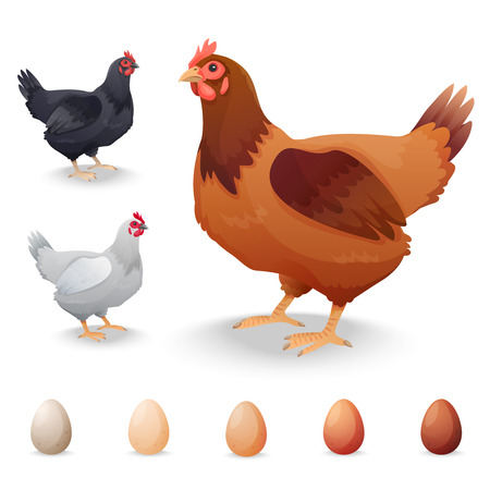 vector eggs: Realistic Hens in different breeds and eggs. Vector illustration Illustration