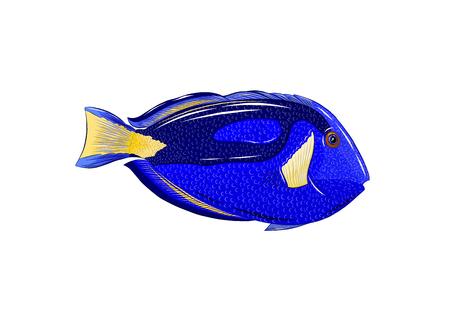 fish surgeon blue