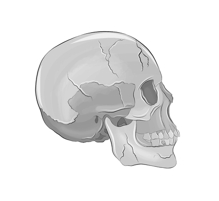 volume of the human skull Illustration