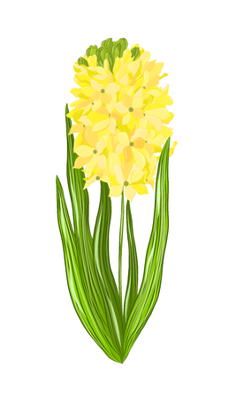 yellow flower hyacinth