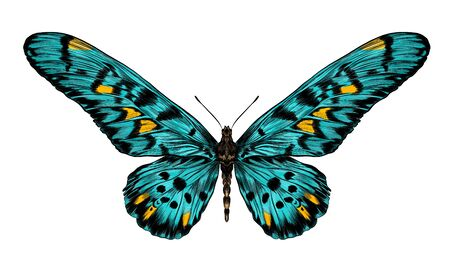 turquoise butterfly Papilio maackii green vector 矢量图像