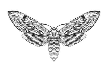 schwarze und weiße pelzige Motte Färbung