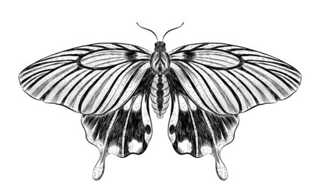 butterfly Papilio maackii black and white