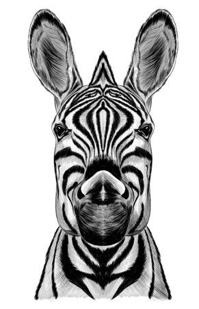 black and white Zebra realism vector