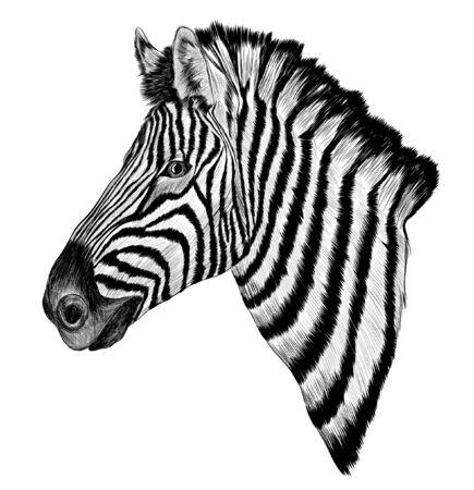 black and white sketch Zebra realism vector Ilustracje wektorowe