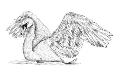 Swan bird with spread wings black and white vector illustration sketch coloring stroke