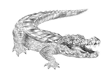 crocodile black and white coloring sketch with open mouth green cartoon vector illustration print