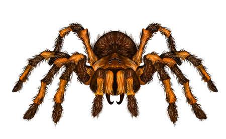 tarantula spider brown shaggy realistic vector