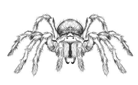 tarantula spider black and white vector black and white coloring sketch scary Halloween Ilustracja