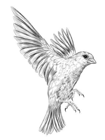 chickadee bird black and white vector graphics of coloring the sketch Vector Illustration