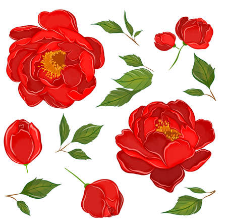 set of peonies red and leaves to create composition pattern flowers vector illustration
