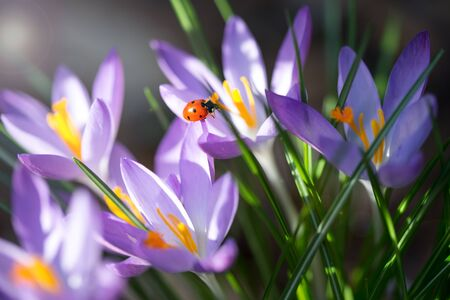 Lady bug on Crocus flowers, spring background