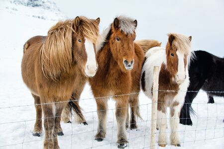 Beautiful Icelandic horses in the snowy winter outdoors