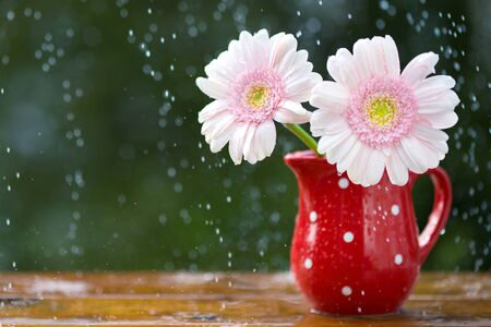 Pink Gerbera daisy flowers in jug with polka dots under the rain on wooden table outdoors