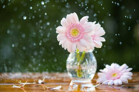 Pink Gerbera daisy flowers in vase under the rain on wooden table outdoors Stock fotó