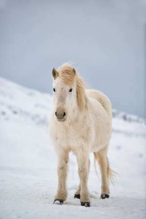 Icelandic horse on the snow in winter, Iceland