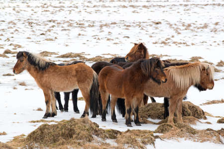Icelandic horses bask against each other at winter, Iceland Reklamní fotografie