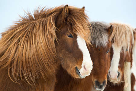 Icelandic horses outdoors in winter, Iceland