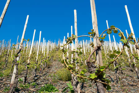 Vineyard in a countryside on the Moselle river, Germany Foto de archivo