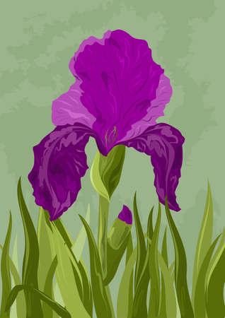 Iris illustration Фото со стока