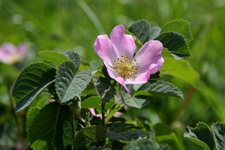 wild rose: pink flower wild rose