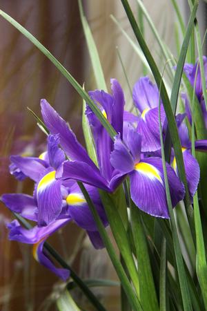 purple irises: a bouquet of small purple irises Stock Photo