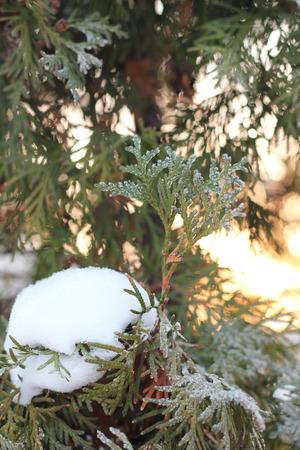 arborvitae: green arborvitae branch in the snow at sunset Stock Photo