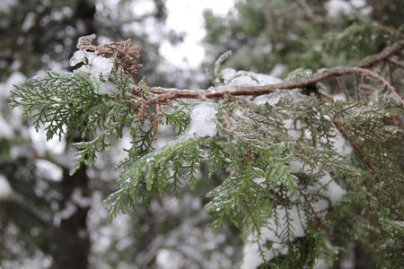 icy: icy green branches arborvitae under snow Stock Photo