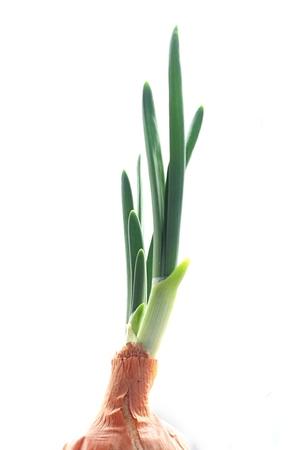 cebolla blanca: las plumas de las cebollas verdes que crecen en el alféizar de la ventana