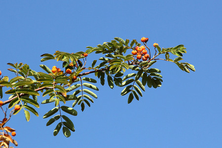 sorbus aucuparia: Autumn red rowan berries on a tree. Rowanberry ashberry in the fall in natural setting on blue sky background. Sorbus aucuparia.
