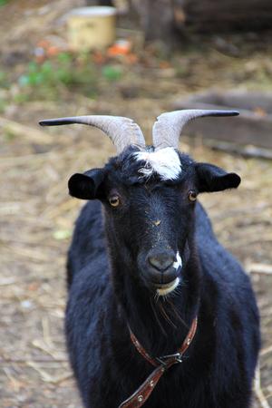 goat head: Portrait of black goat in a farm