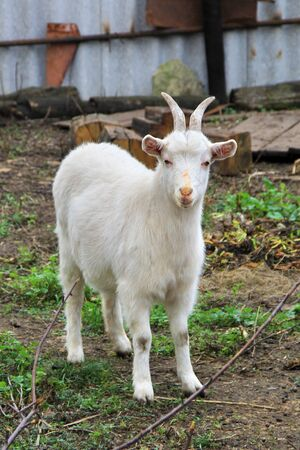bleating: White Goat  in a farm