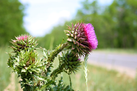 essences: The flower head thistle Milk Thistle in full splendor