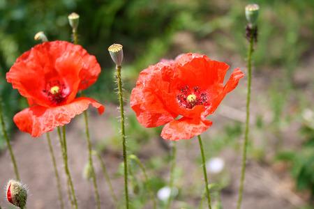 field of corn poppy flowers: Red poppy flowers in the oil seed rape fields