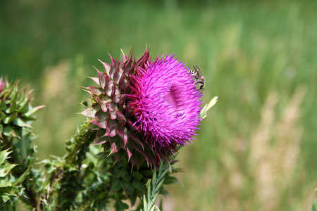 importantly: The flower head thistle Milk Thistle in full splendor