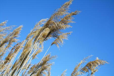 canne: erba canne contro il cielo blu